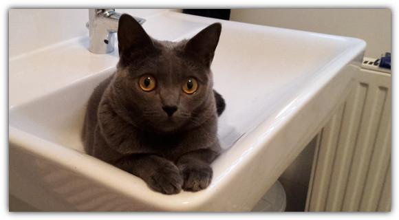 Merkmale und Eigenschaften der Kartäuser Katze